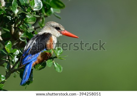 The grey-headed kingfisher (Halcyon leucocephala) in natural habitat - stock photo