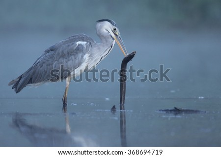 The Grey Heron (Ardea cinerea) with the common eel in the water during the foggy morning. - stock photo