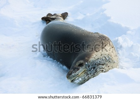 The grey seal has a rest  in Antarctica