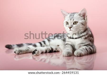 the grey  stripy beautiful little  kitten, lie on pink  background - stock photo