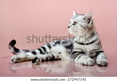 the grey  stripy beautiful little  kitten, lie on pink  background - stock photo