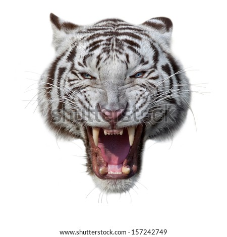 The grin of a white bengal tiger. The mask of a biggest and most dangerous cat of the world. Severe beast shows his fearful fangs. A mighty raptor, isolated on white background. - stock photo