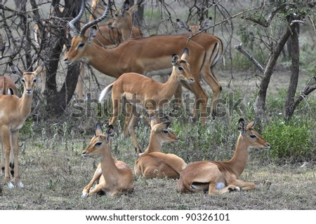 The group of antelopes the impala costs on the grass which has turned yellow from the hot sun. - stock photo