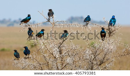 The group of bright bi of brilliant birds sits on an acacia as a New Year's garland. Colourful bird Superb Starling sits on a branches. The superb starling (Lamprotornis superbus)  - stock photo