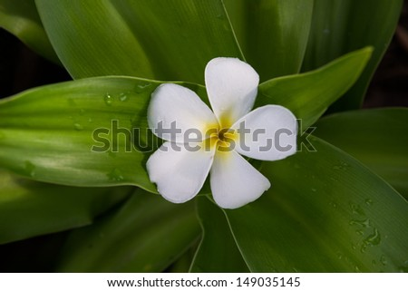 the group of plumeria Frangipani flower