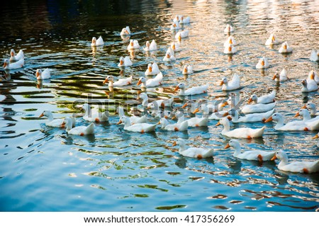The group of white duck is swimming on the lake