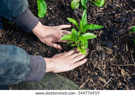 The hands of a young female gardener planting  some small plants in a garden - stock photo