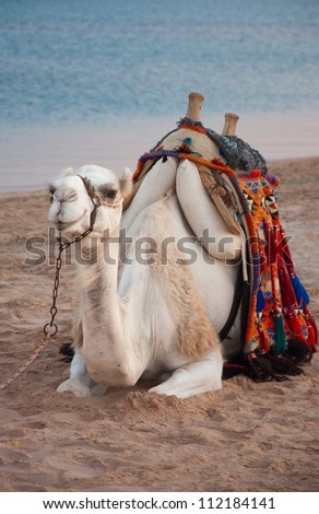 The Happiest Camel in Egypt - stock photo