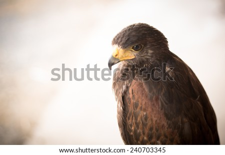 The Harris's Hawk or Harris Hawk - stock photo