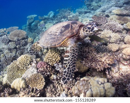 The Hawksbill turtle eating on the beautiful coral reef bottom