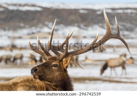 Elk Stock Photos RoyaltyFree