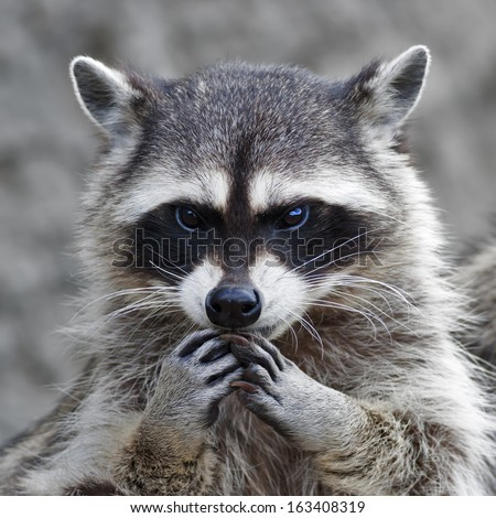 The head and hands of a cute and cuddly raccoon, that can be very dangerous beast. Side face portrait of the excellent representative of the wildlife. Human like expression on the animal face.  - stock photo