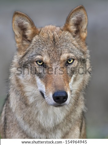The head and neck of a young, two year old, european wolf female. Face portrait of a forest dangerous beast, Canis lupus lupus, on blur background. Beauty of the wildlife. - stock photo