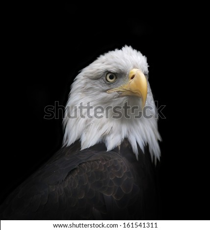 The head and shoulder of a bald eagle, haliaeetus leucocephalus, isolated on black background. The American eagle, US national character, very beautiful bird with proud expression. - stock photo