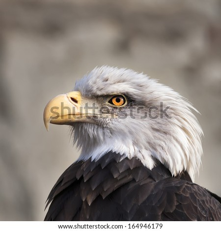 The head and shoulder of a bald eagle, haliaeetus leucocephalus, on gray. Side face portrait of an American eagle, US national character, very beautiful bird looking like a tyrant on the tribune. - stock photo