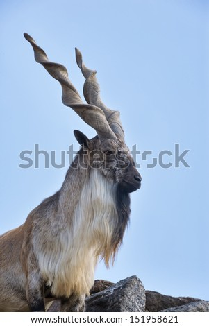 The head and shoulder of a markhor male. Majestic goat on blue sky background. Wild animal alpinist with awful screw horns. Wild beauty of the great buck. - stock photo