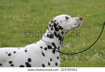 The Head and Shoulders of a Beautiful Dalmatian Dog. - stock photo