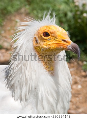 The head bird of predatory vulture close-up - stock photo