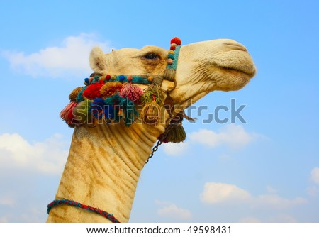 The head of a camel in the ethnic, color armband - stock photo