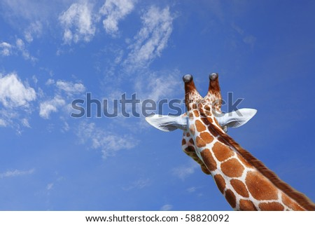 The head of a giraffe against blue sky - stock photo