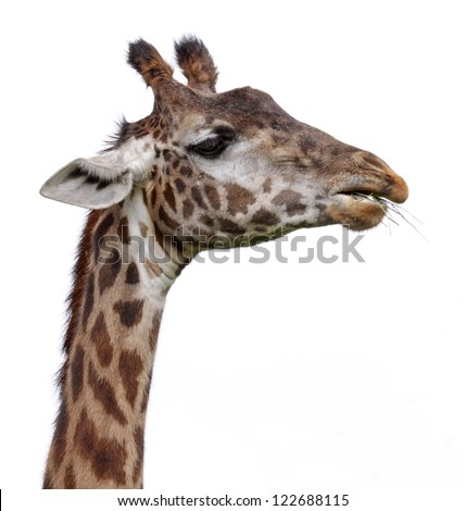 The head of a giraffe isolated on a white background.