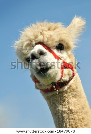 The head of a male Alpaca against a blue sky