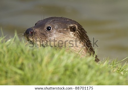 The head of a native British otter peering from the river onto the grass bank. - stock photo