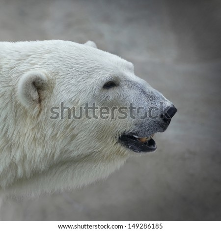 The head of a polar bear female. Side face portrait of a beautiful beast. The most dangerous animal of the Arctic region. Wild beauty of severe raptor. - stock photo