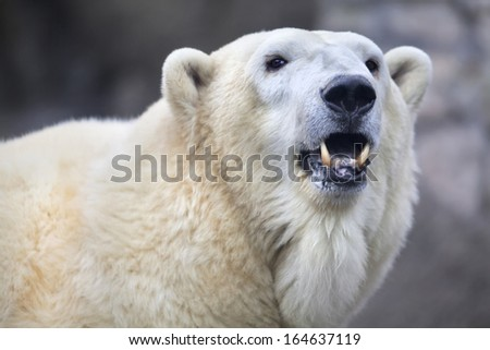 The head of a polar bear female. Side face portrait of a beautiful beast with open chaps. The most dangerous animal of the Arctic region. Wild beauty of severe raptor. - stock photo