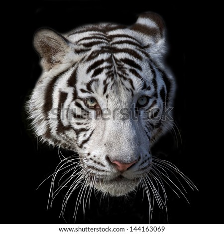 The head of a white bengal tiger, isolated on black background. - stock photo