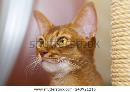 the head of an Abyssinian cat photographed by a close up - stock photo
