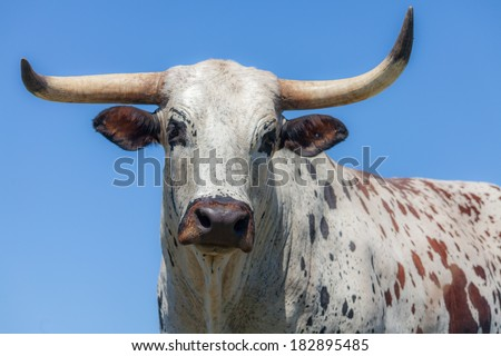 The head of an Nguni cow - stock photo
