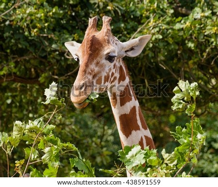 The head of giraffe in the bushes.