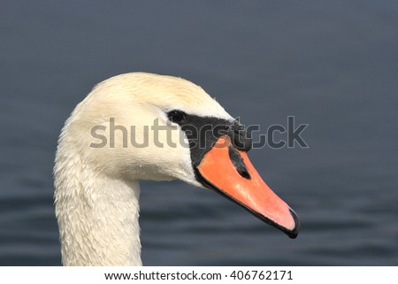 The head of the adult fed white swan on all screen  - stock photo