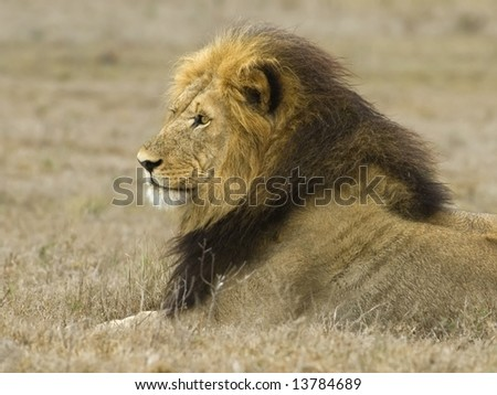 The head of the dominant Male Lion at Addo National Park, South Africa - stock photo
