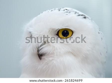 The head of white snowy owl closeup - stock photo