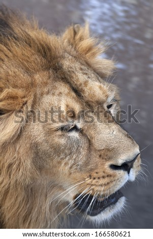 The head with shaggy mane of a lion, sleeping on his feet?. The young Asian lion and the King of beasts and the biggest cat of the world. Beauty of the wild nature. - stock photo