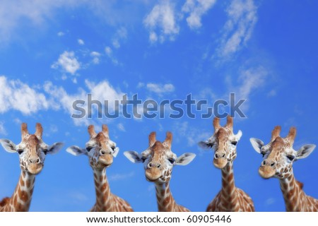 The heads of five giraffes against blue sky - stock photo
