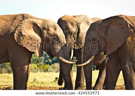 The Heads - The African bush elephant is the larger of the two species of African elephant. Both it and the African forest elephant have in the past been classified as a single species. - stock photo