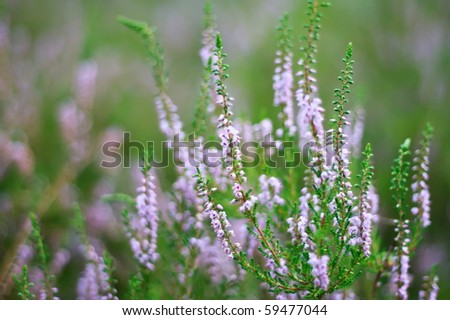 the heather field background.