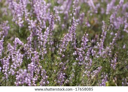 the heather field background. Calluna vulgaris. - stock photo