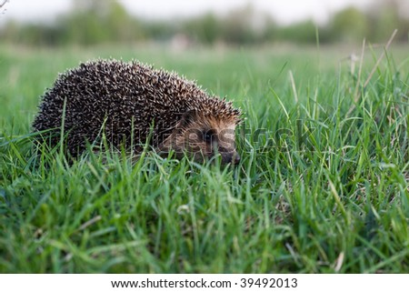 The hedgehog left on evening hunting. It goes on a green grass. - stock photo
