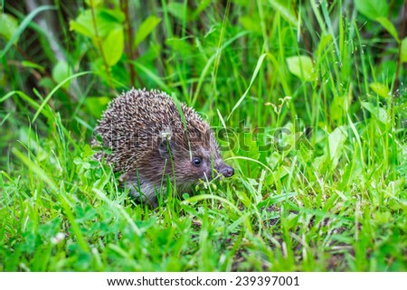 the hedgehog walks on the grass