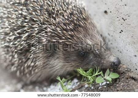 The hedgehog with plant on abstract grey background.Shallow DOF