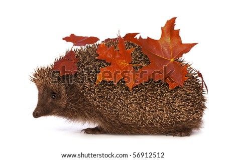 The hedgehog with red leafs in motion hastens to home - stock photo