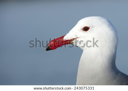 The Heermann's gull, Larus heermanni,  is a gull resident in the United States, Mexico and extreme southwestern British Columbia. This species looks distinctly different from other gulls. - stock photo