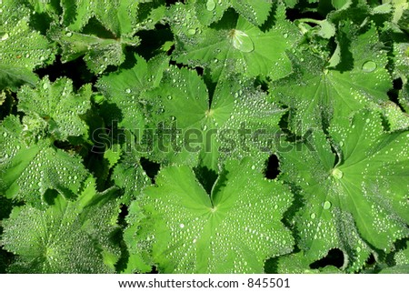 The herb Ladies Mantle, covered in raindrops. - stock photo