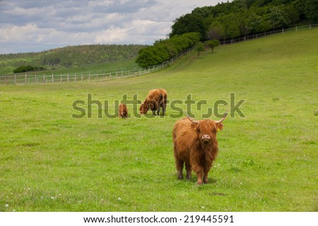 The herd of aberdeen angus eating grass on spring meadow - stock photo