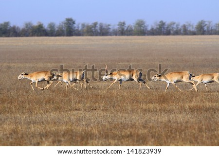 The herd of antelopes runs in the steppe