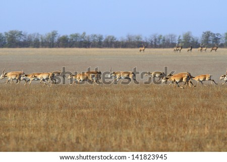 The herd of antelopes runs in the steppe - stock photo